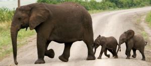 elefant nyhetsbrev